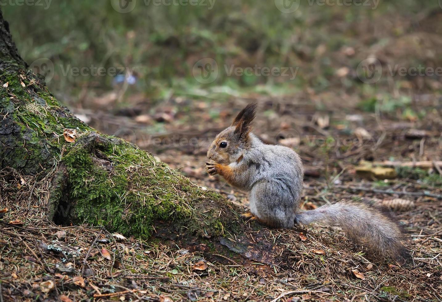 scoiattolo nella foresta foto