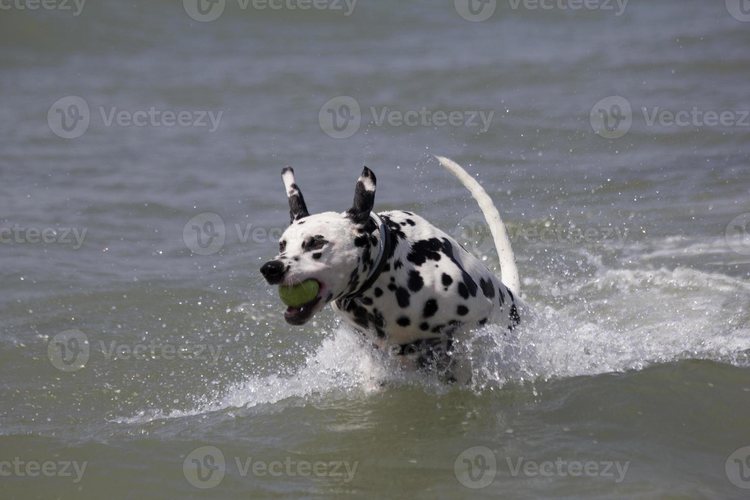 dalmata che gioca in acqua con una palla. foto