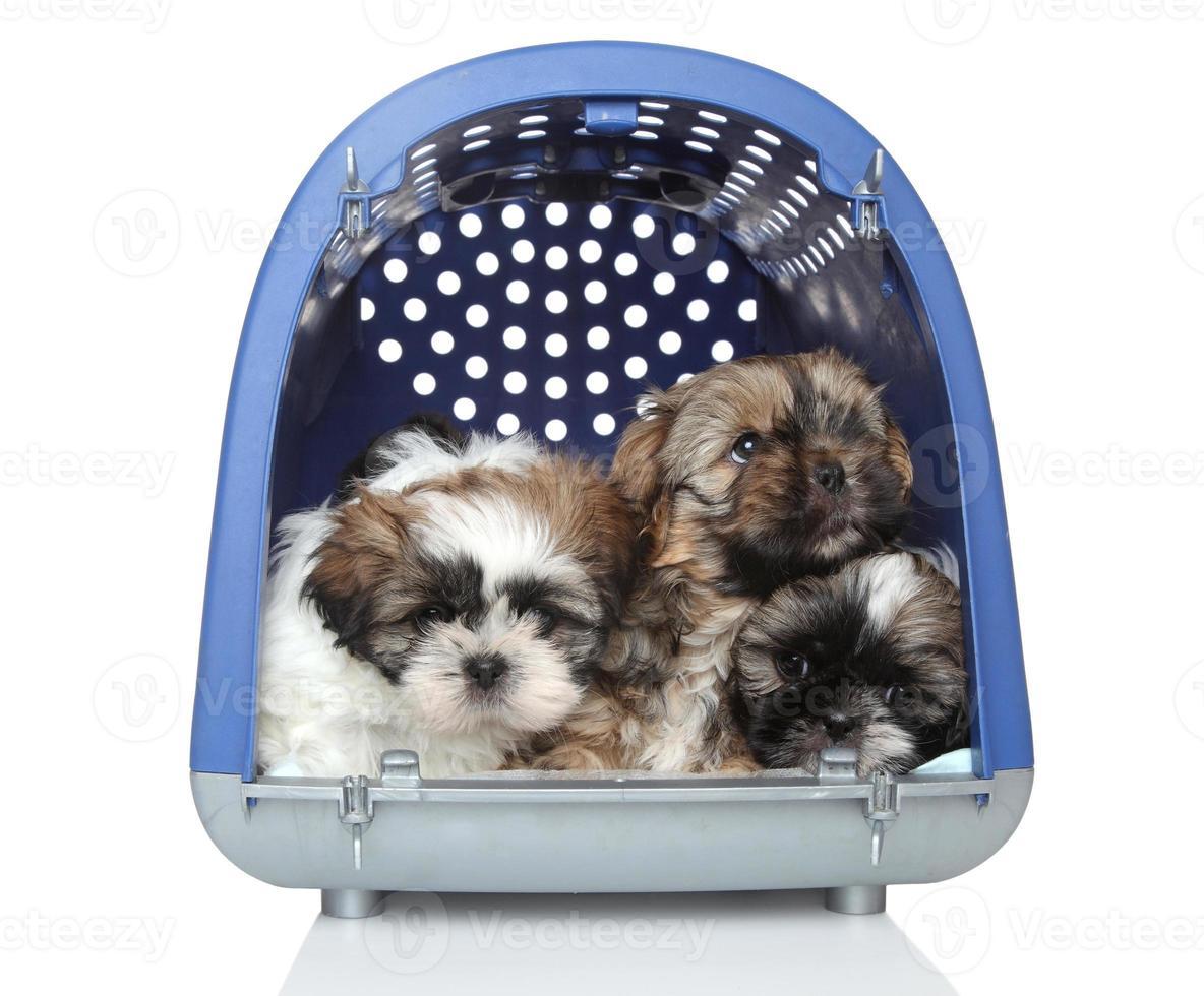 cuccioli di shih tzu in trasportatore di plastica su fondo bianco foto