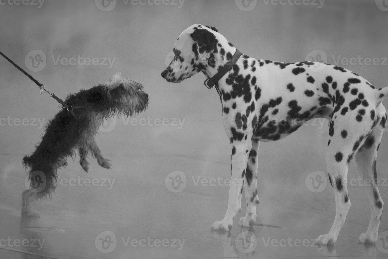 dalmata incontra yorkshire terrier foto
