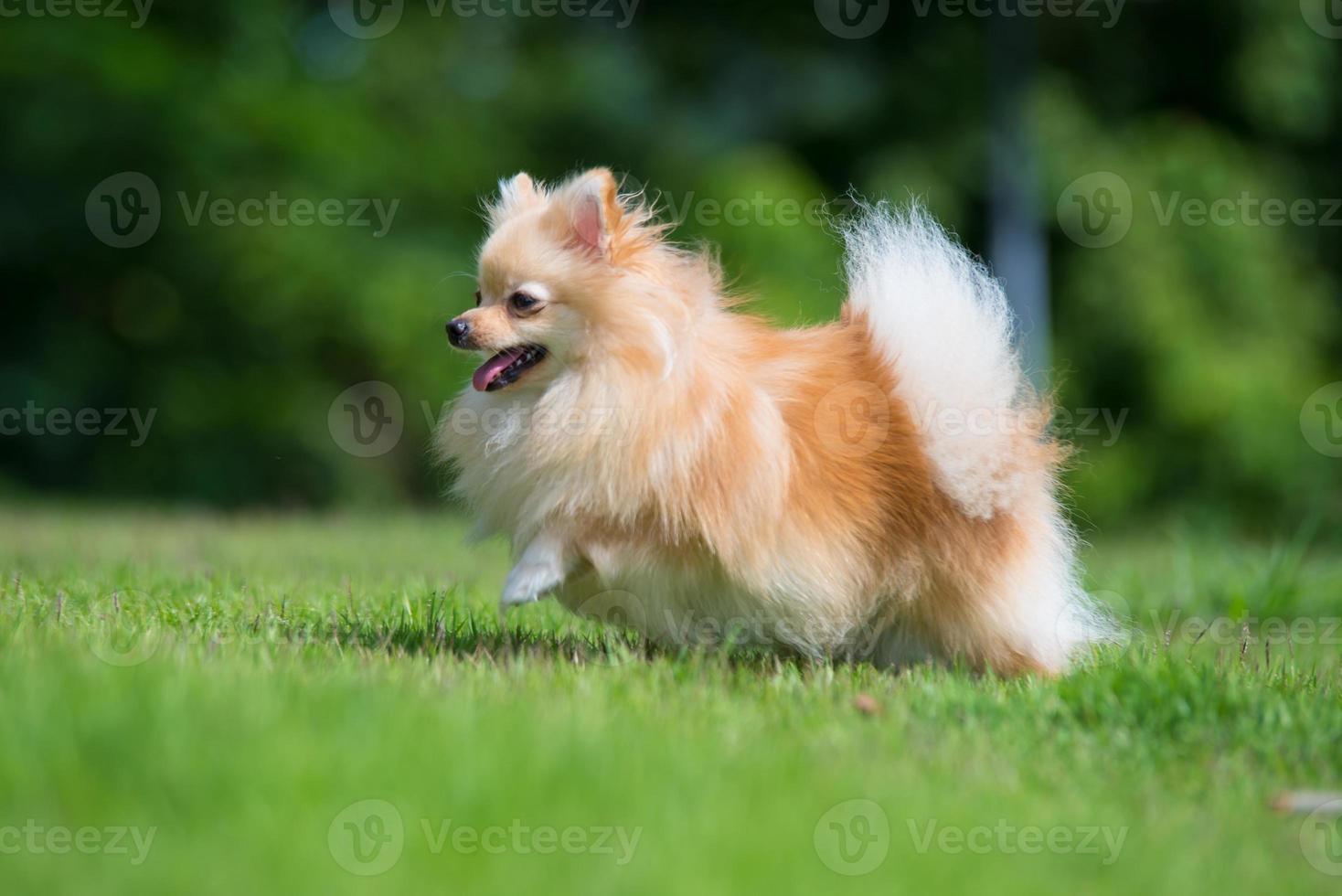 piccolo cane pomeranian arancione che corre sull'erba foto