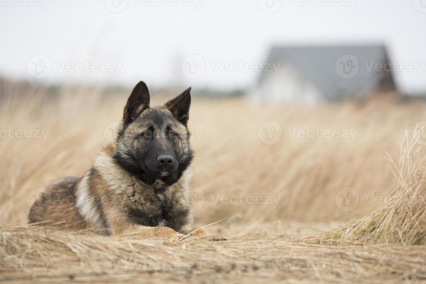 cane da guardia foto
