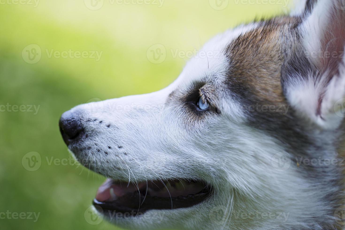 la testa del husky siberiano. foto