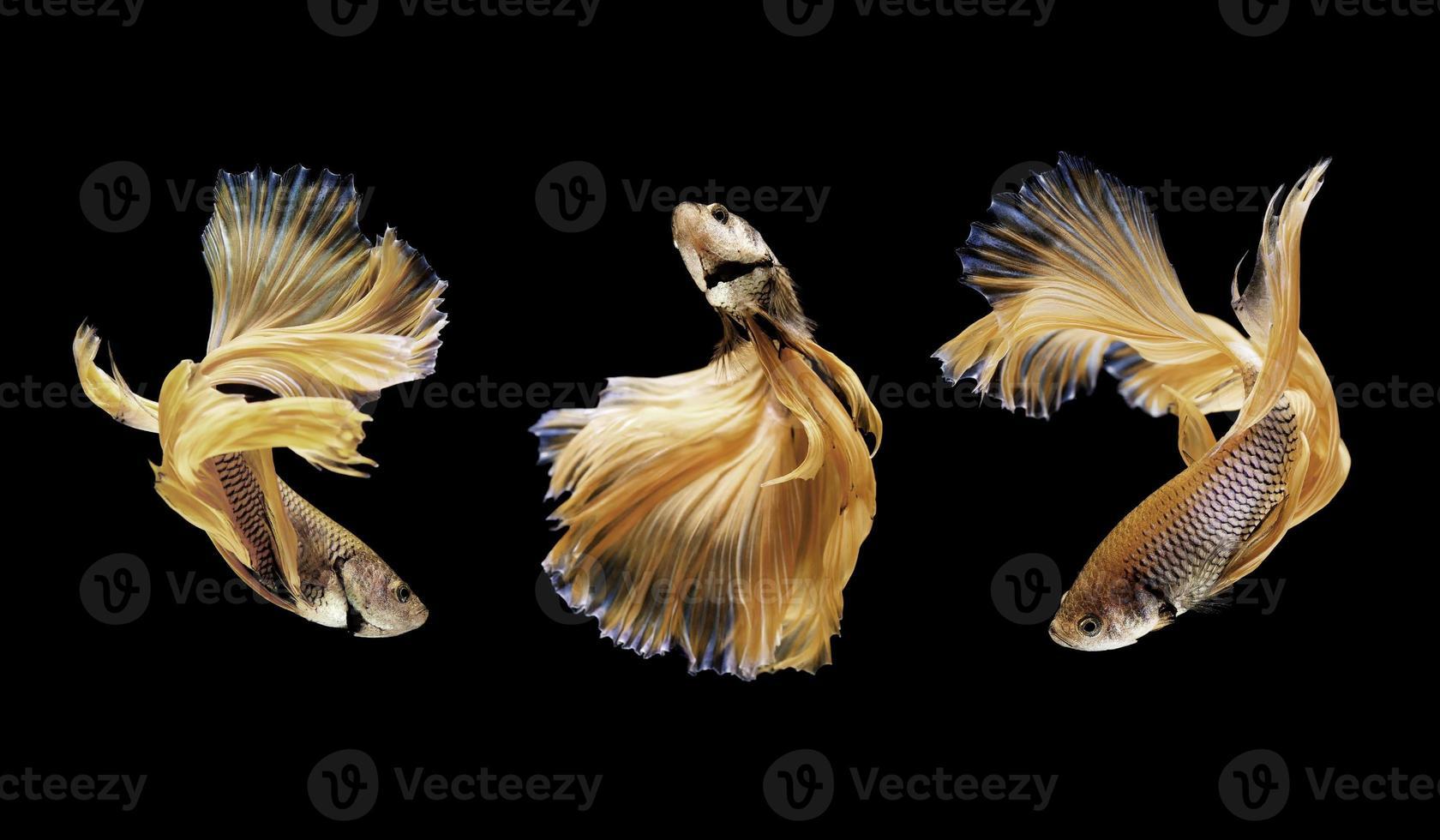 betta o pesce siamese di combattimento isolato sul nero foto