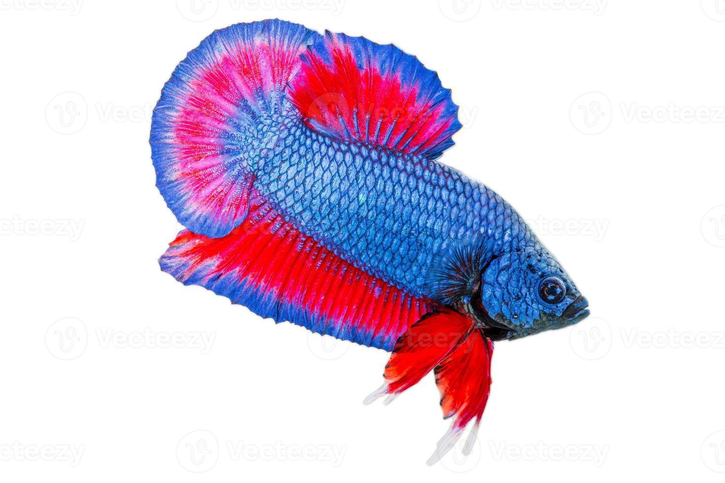 pesce betta isolato su sfondo bianco foto