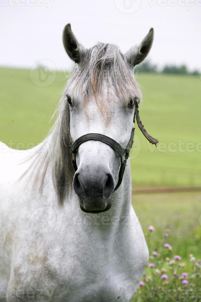 ritratto di un bellissimo cavallo bianco arabo foto
