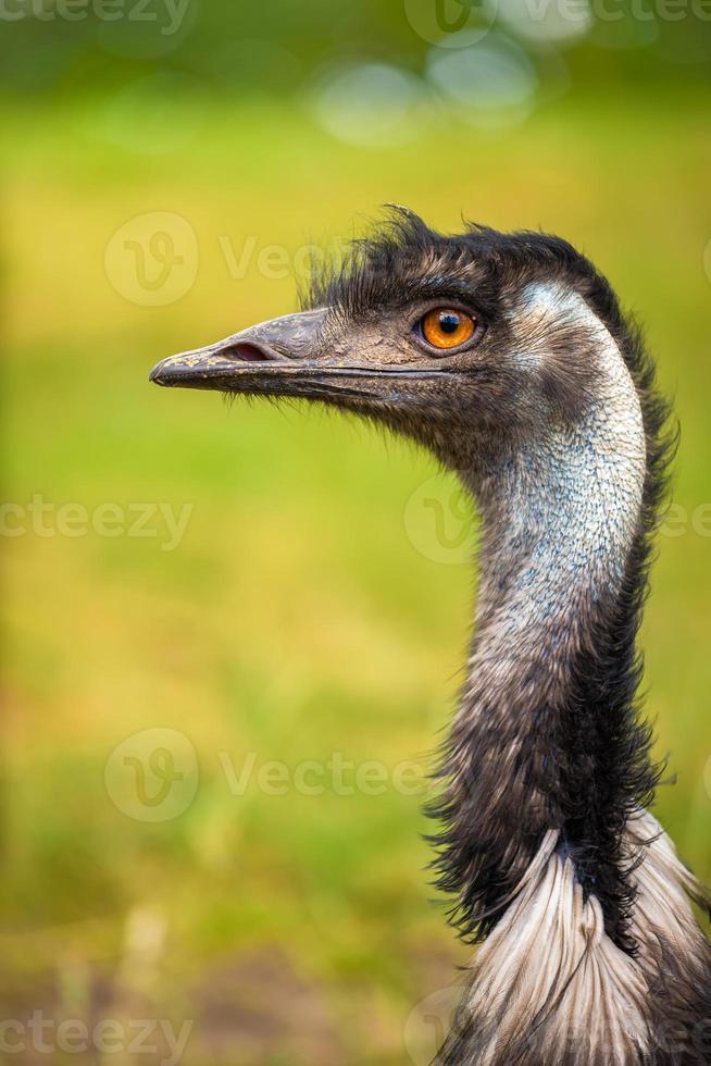 ritratto di profilo dell'emù australiano foto