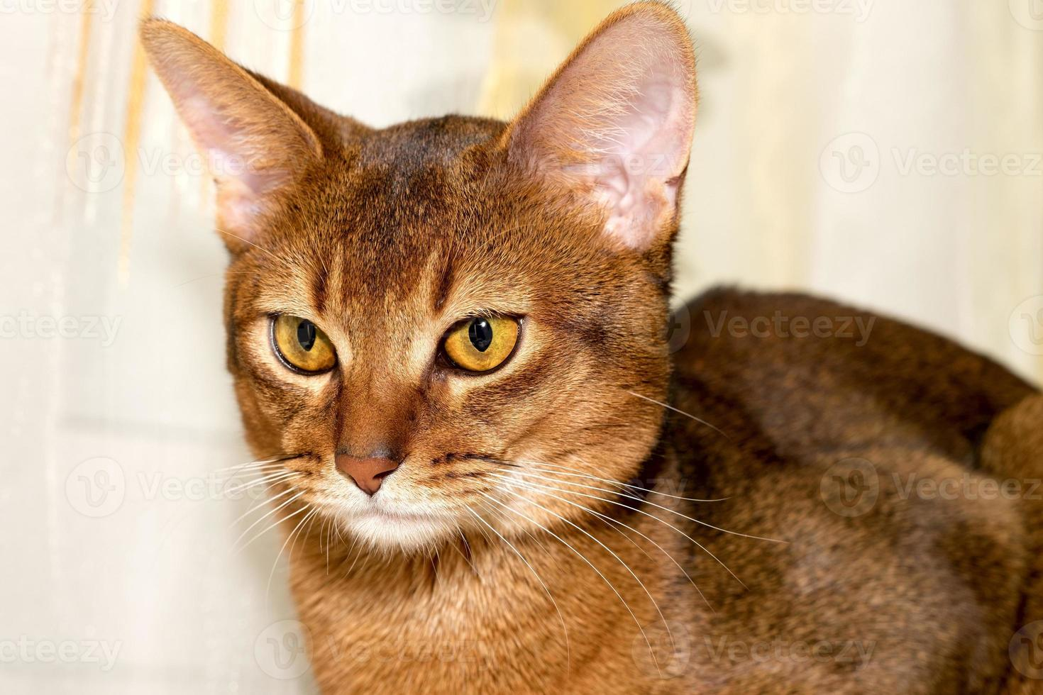 gatto abissino di razza foto