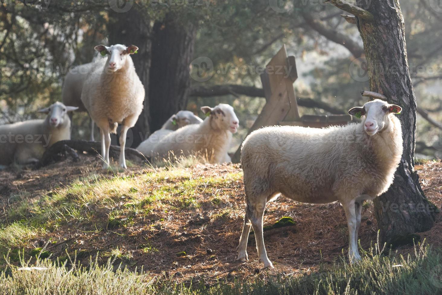 pecore nella luce del primo mattino foto