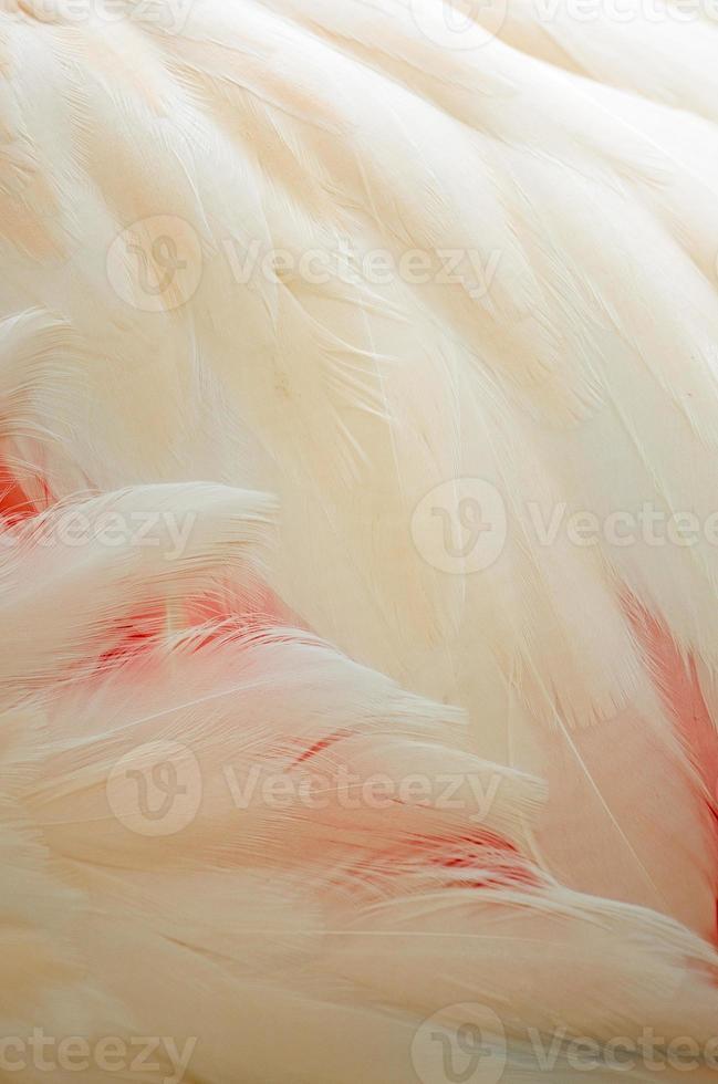 piume di fenicottero maggiore foto