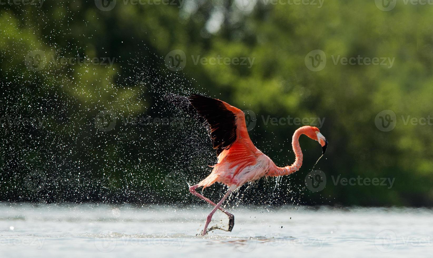 il fenicottero scorre sull'acqua con schizzi foto
