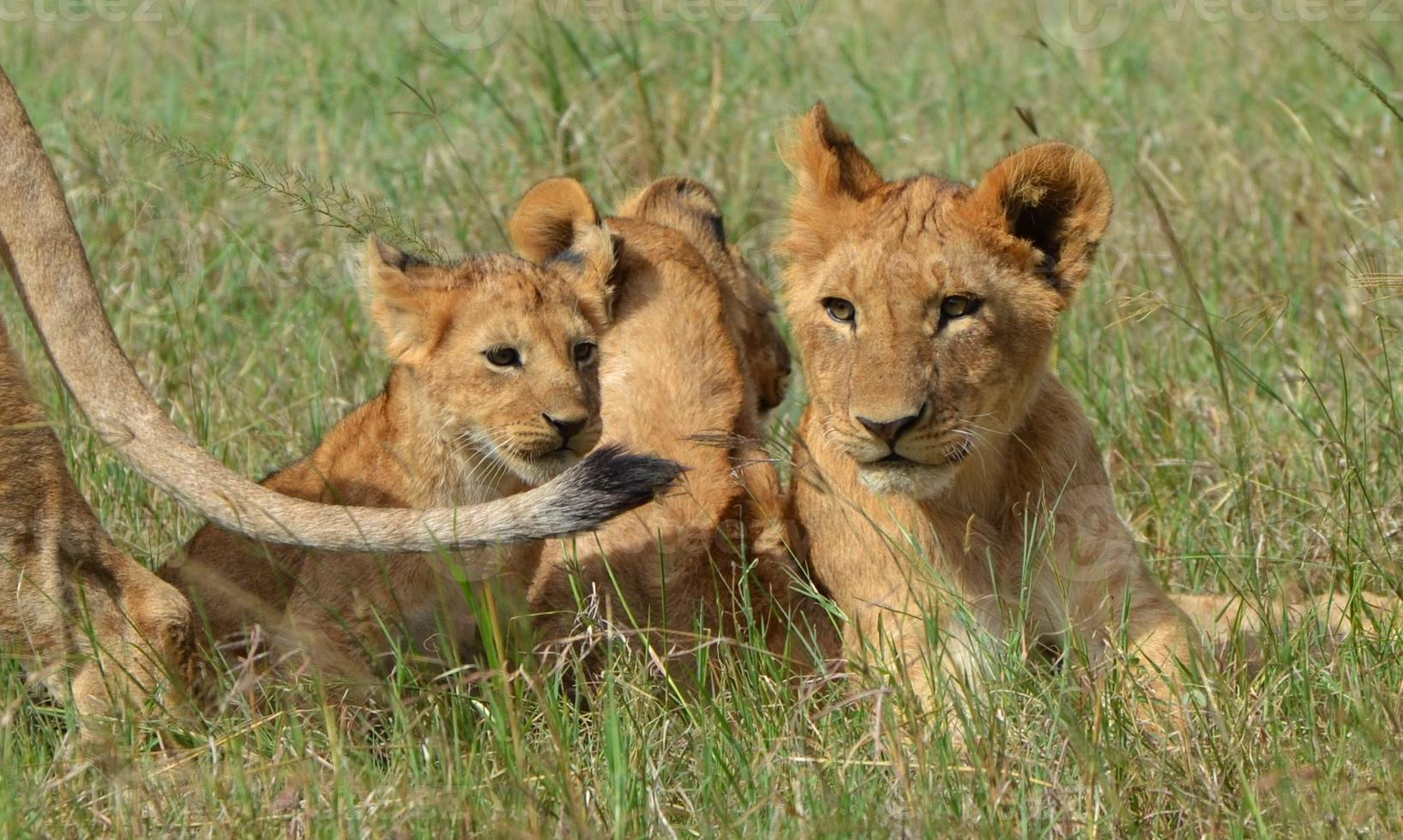 cuccioli di leone foto
