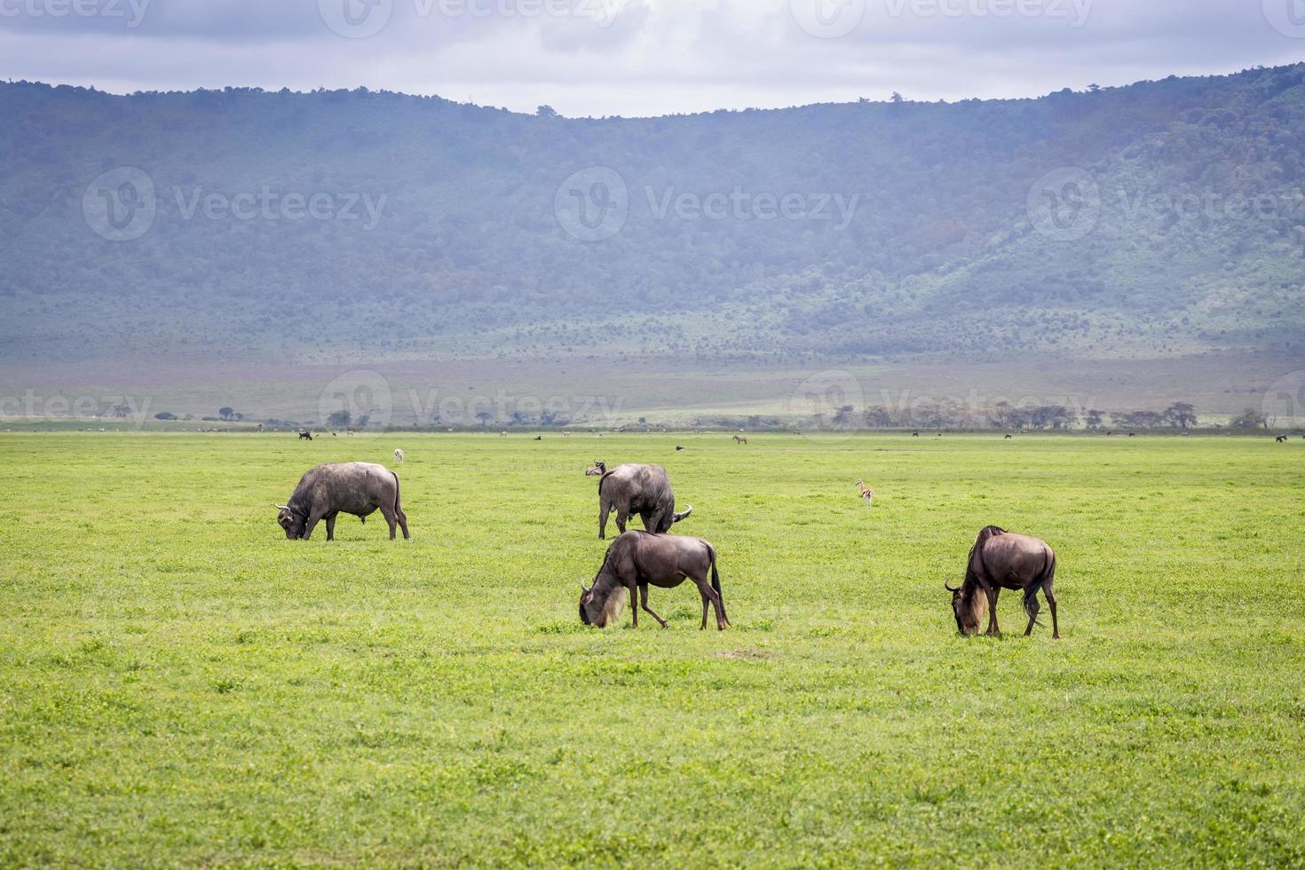 gnu nella zona protetta di ngorongoro foto