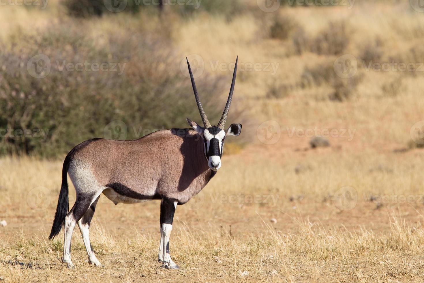 gemsbok in piedi nel deserto foto