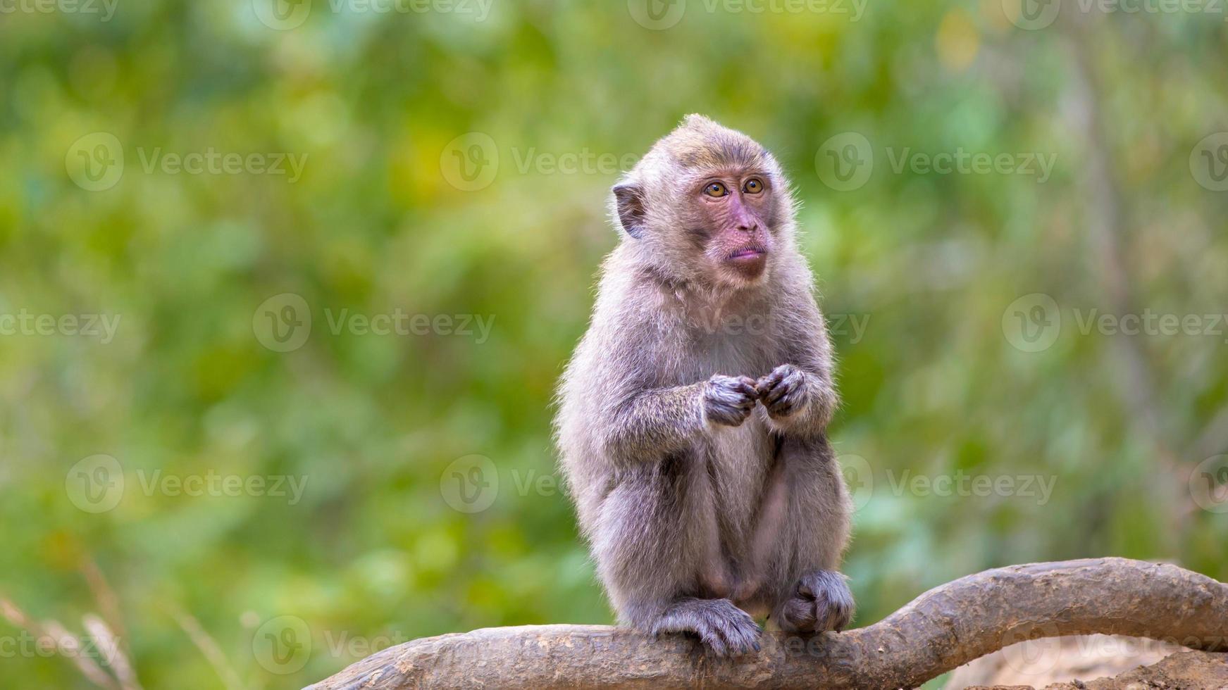 macaco dalla coda lunga foto