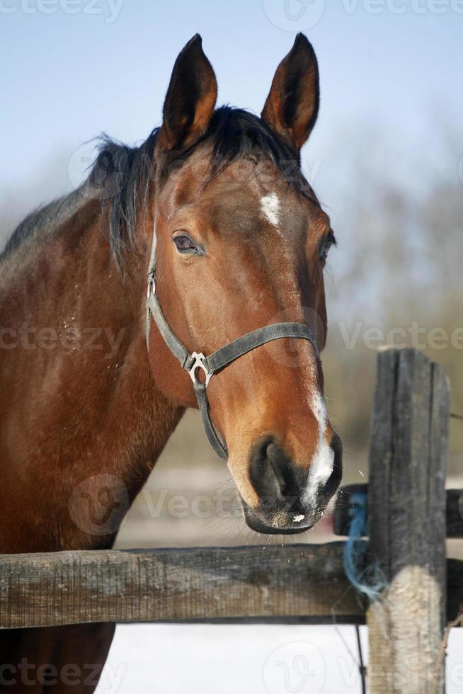 primo piano di un cavallo di baia nella scena rurale del recinto per bestiame di inverno foto