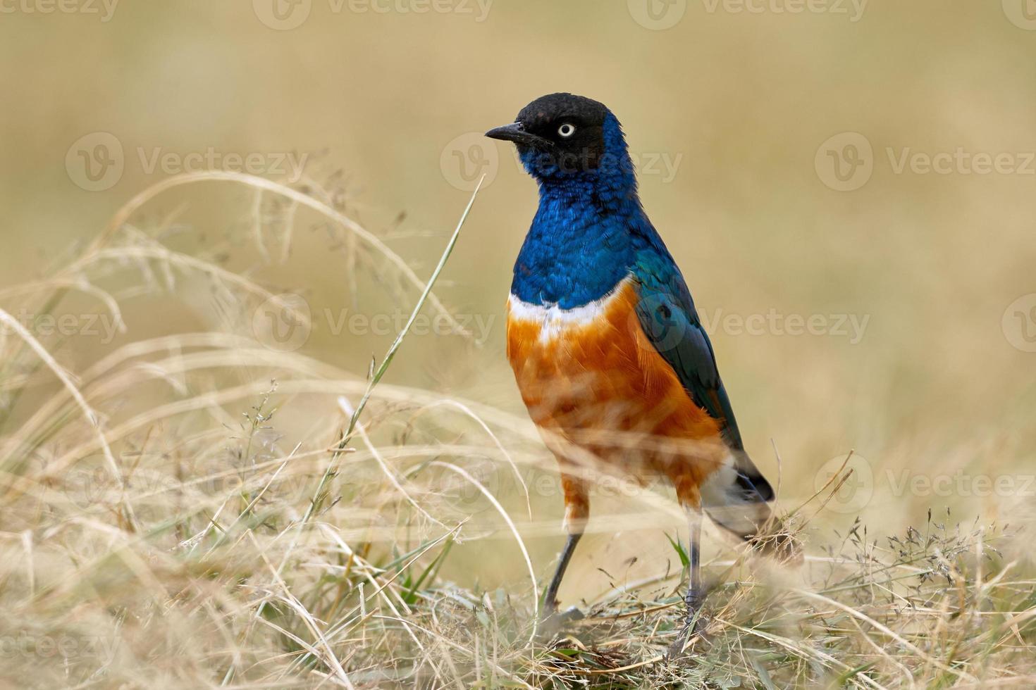 superbo uccello storno, africano e colorato foto