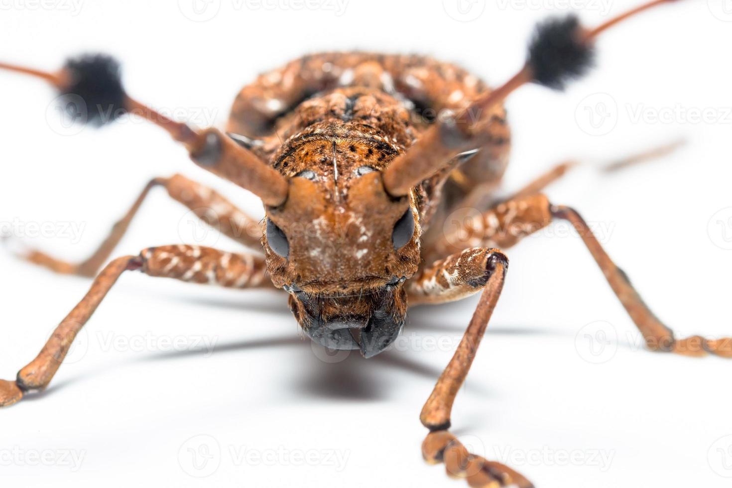 scarafaggio foto