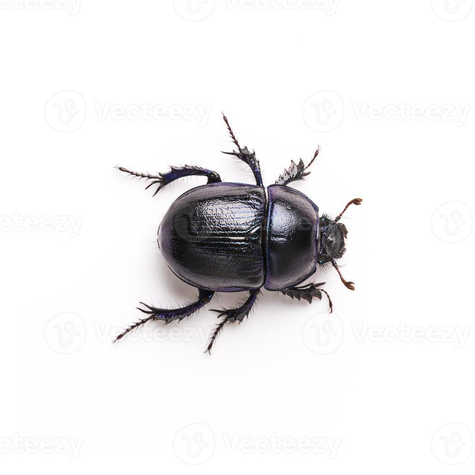 scarabeo stercorario viola su fondo bianco foto