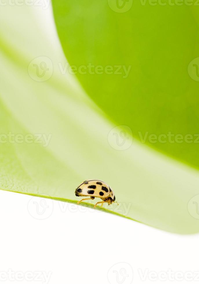 coccinella gialla foto