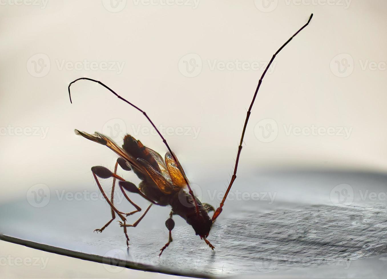 fine impressionante del microscopio del piccolo insetto del longicorn su foto