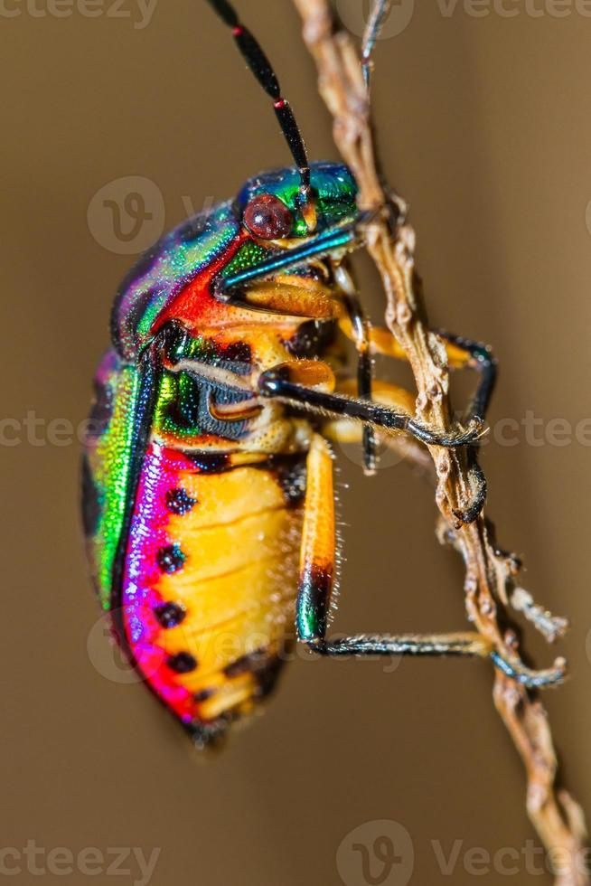 bug gioiello foto