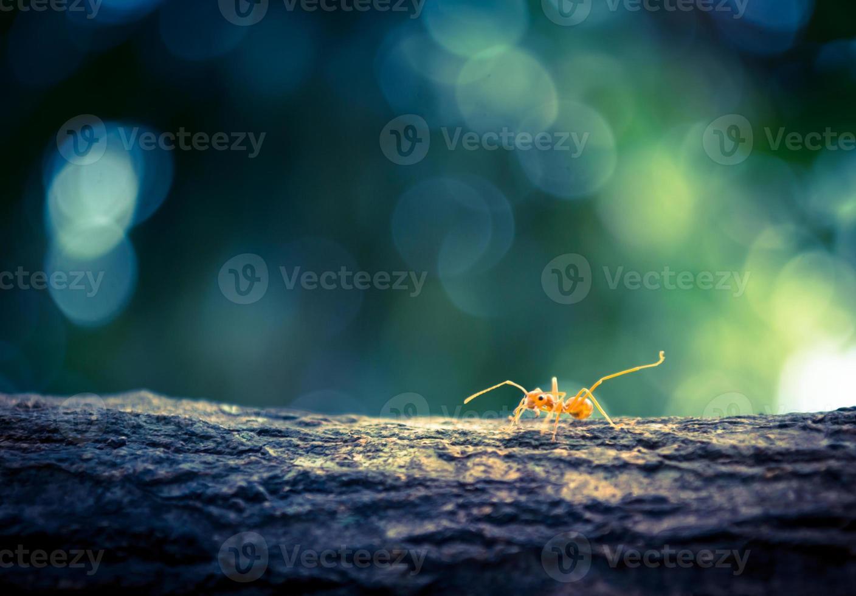 formiche arancioni foto