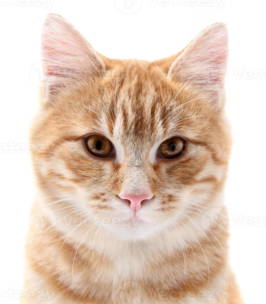 Ritratto di gatto rosso su sfondo bianco foto