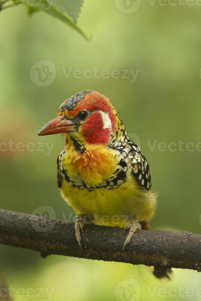 uccello barbet foto