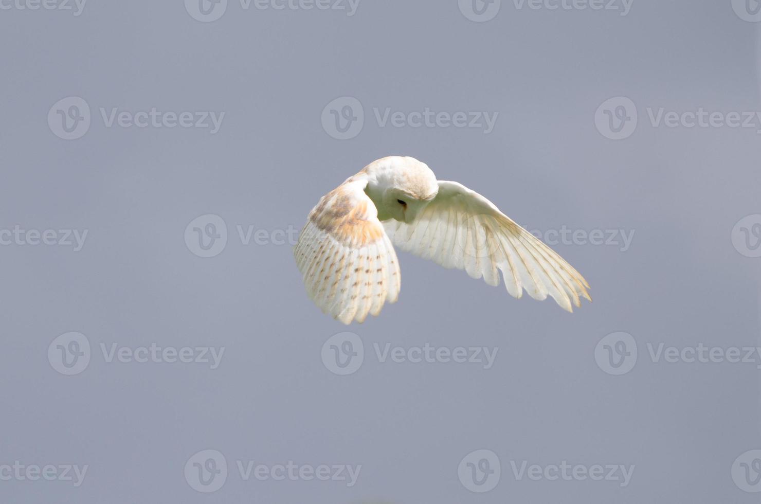 caccia al barbagianni volante (tyto alba) foto