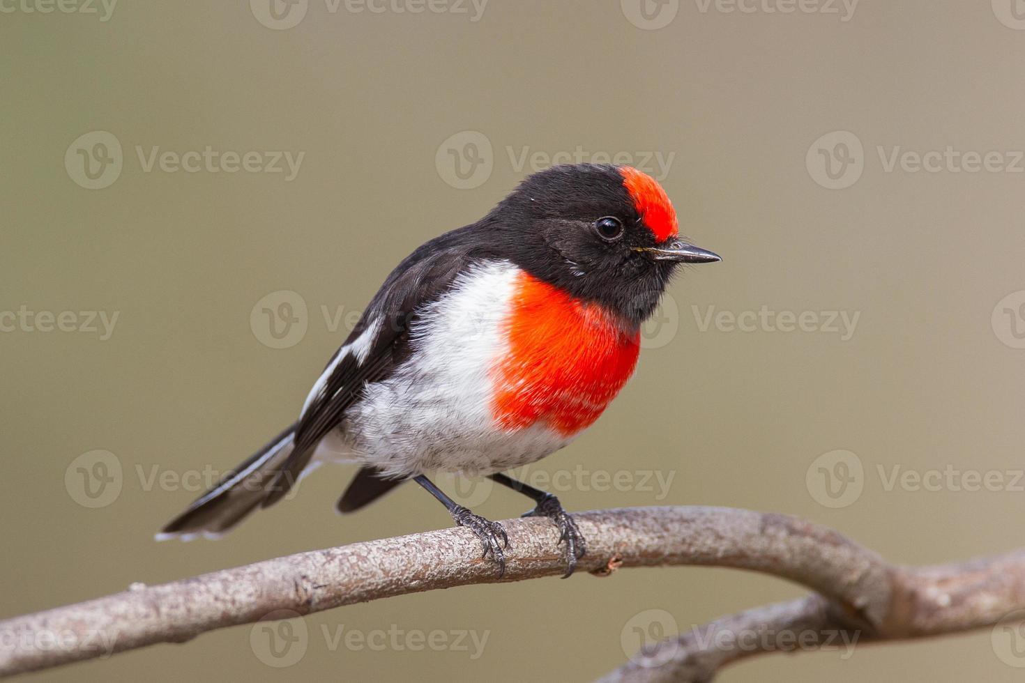 pettirosso rosso-ricoperto foto
