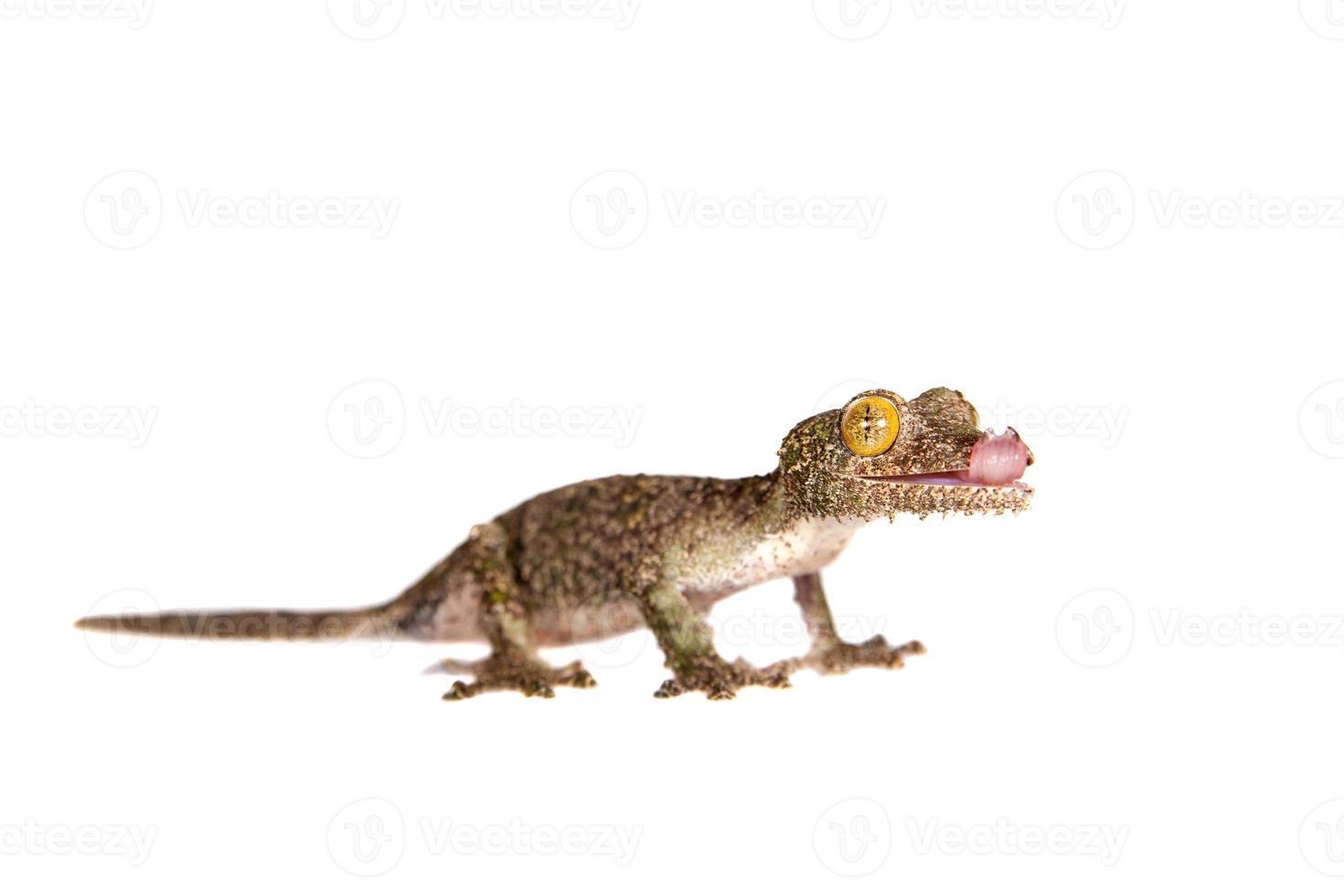 geco coda a foglia, uroplatus sameiti su bianco foto