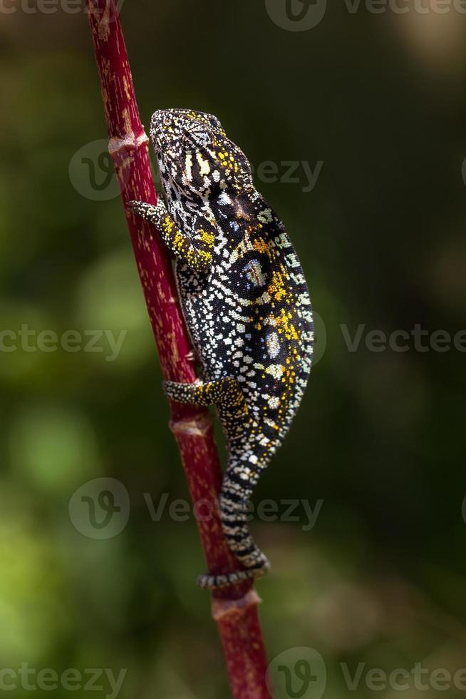 camaleonte ingioiellato foto