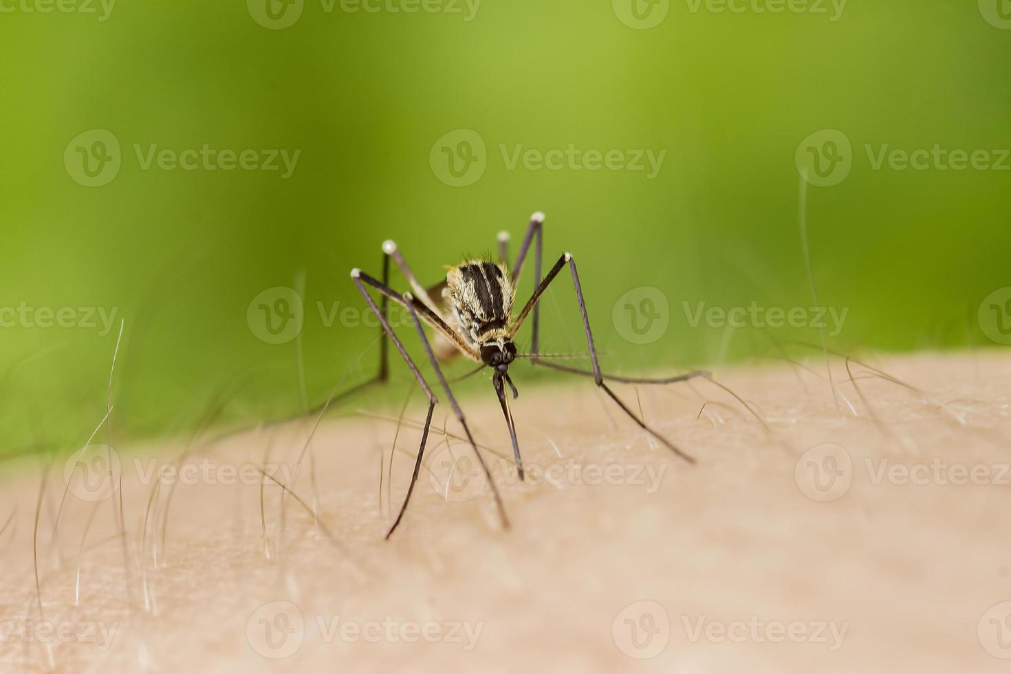 zanzara tigre in servizio foto