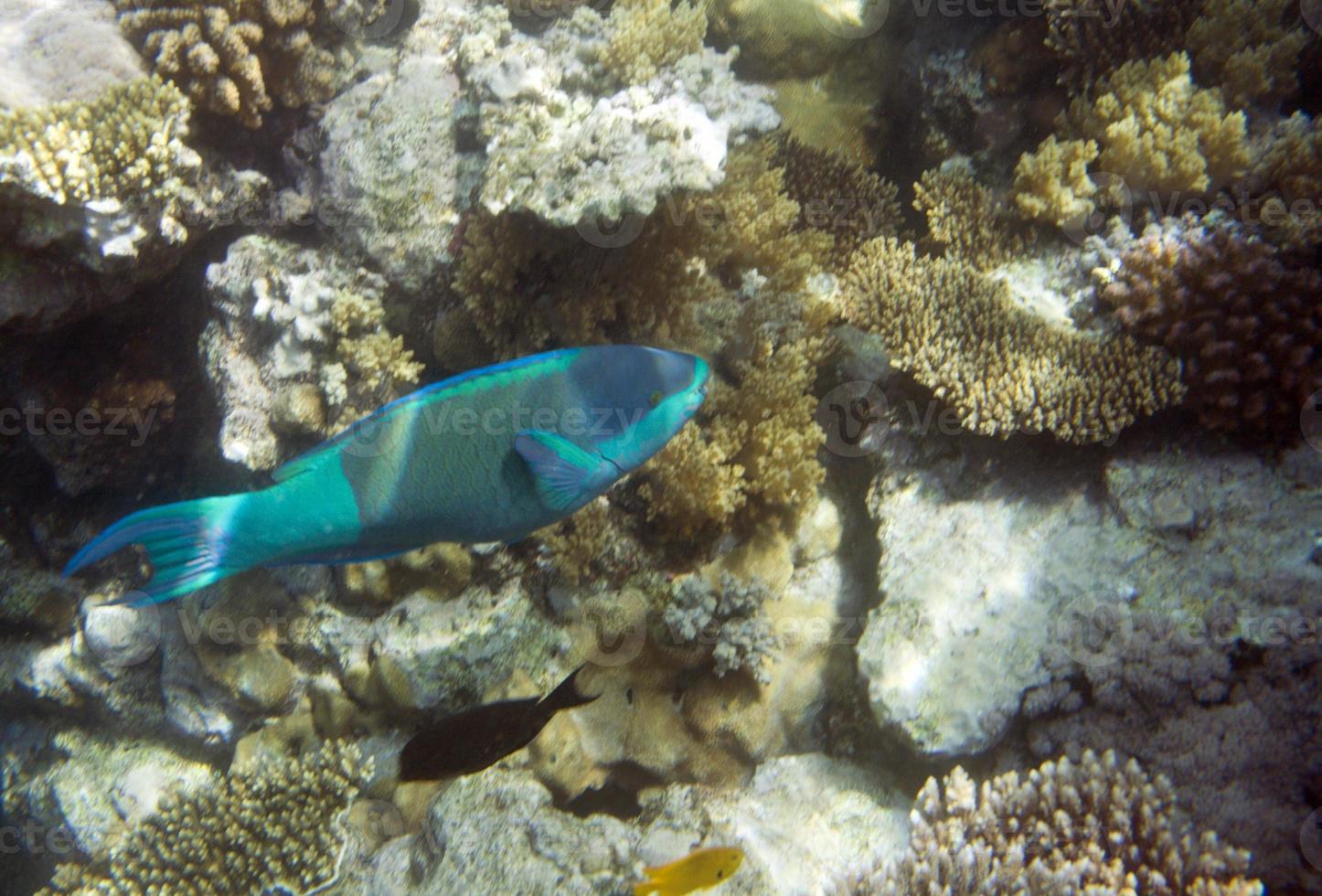 pesce pappagallo foto