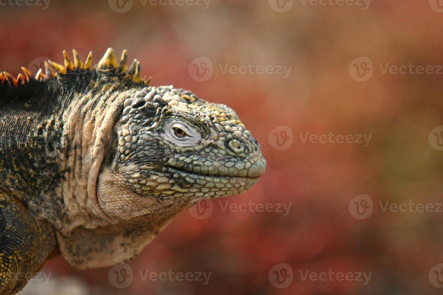 iguana marina, isole galapagos foto