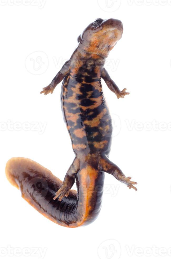 salamandra anfibia newt foto