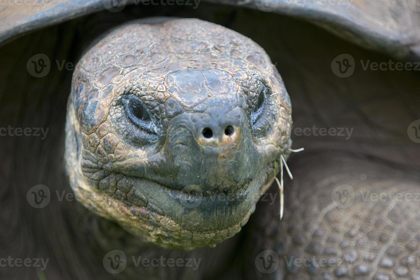 tartaruga terrestre gigante delle galapagos foto