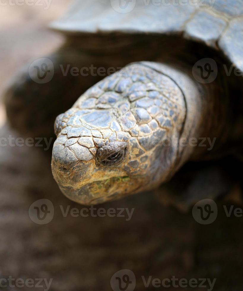 testa di tartaruga foto