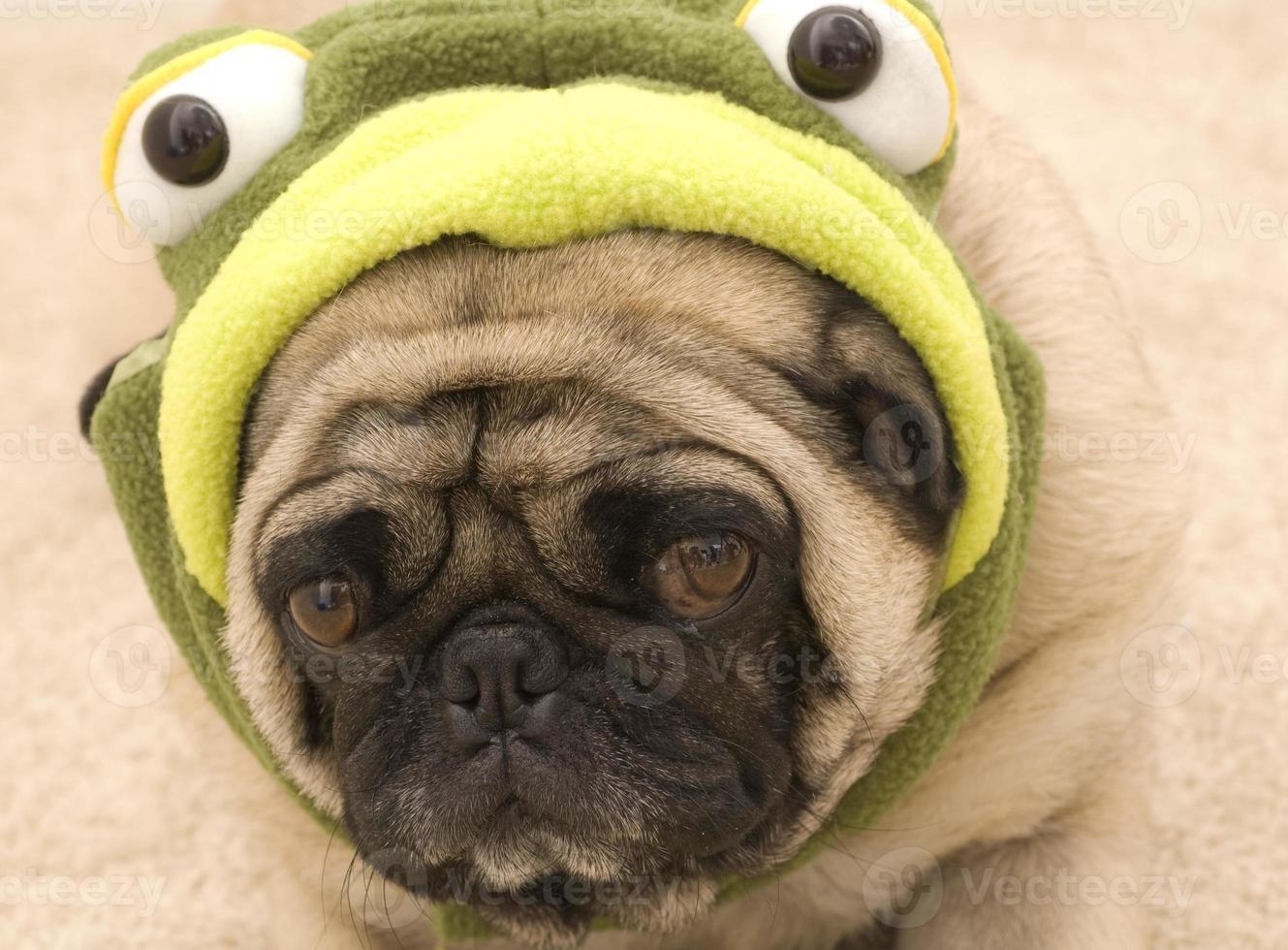 simpatico carlino in costume da tartaruga foto