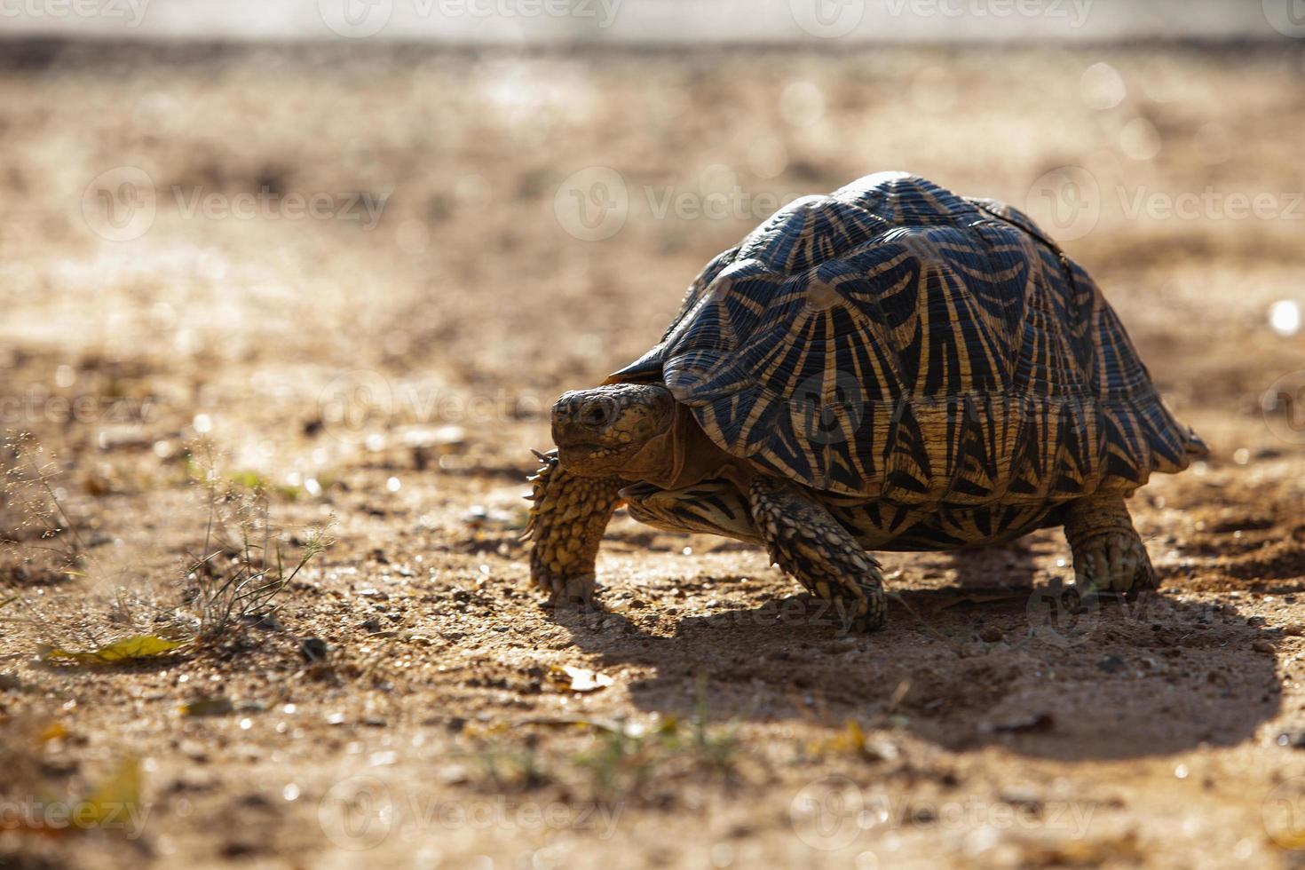 terraferma turtoise in sri lanka foto