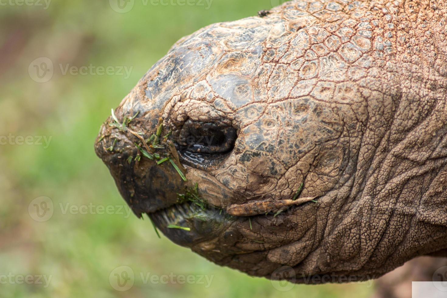 cabeza de tortuga gigante foto