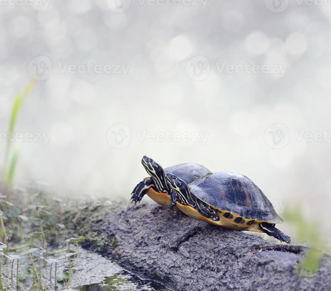 tartarughe di Florida Cooter foto