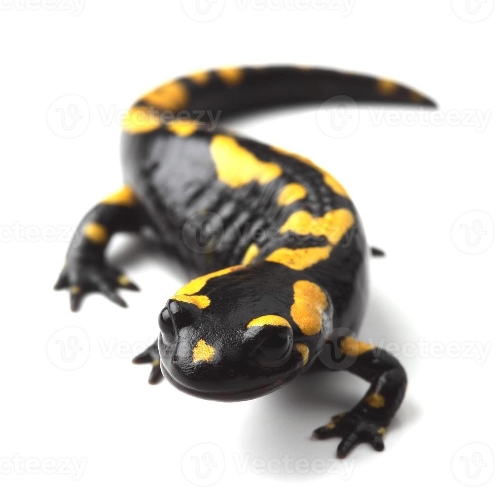 Salamandra pezzata (s. salamandra) su bianco foto