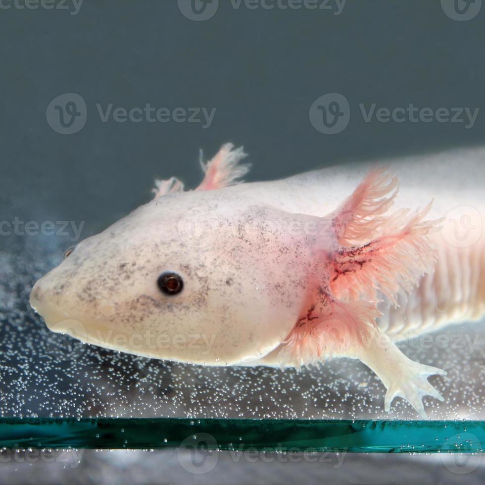 Axolotl foto