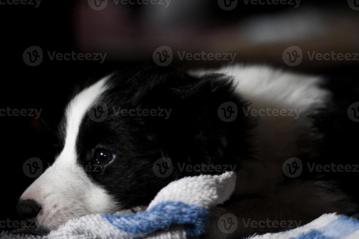 cucciolo border collie foto