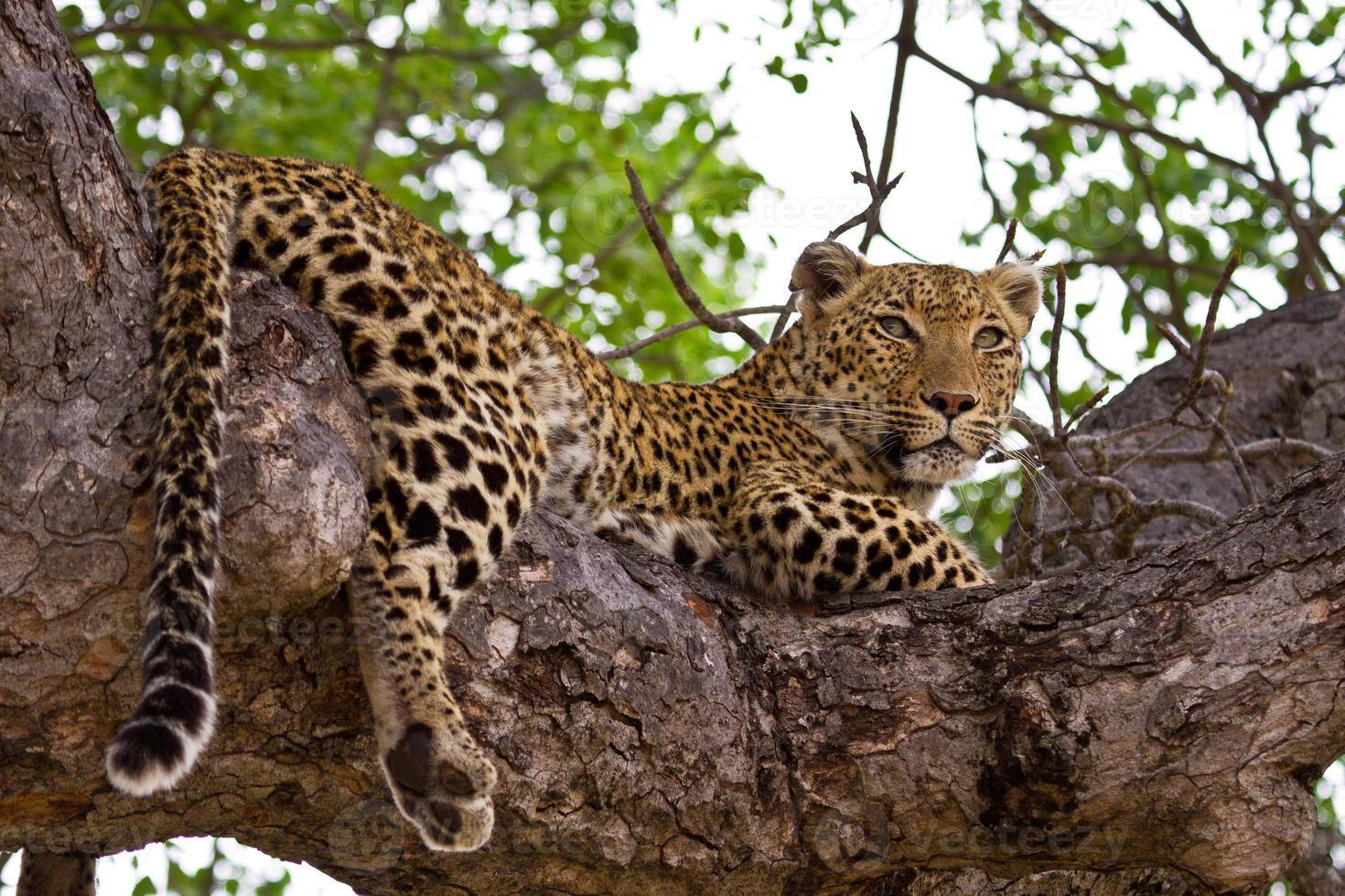 leopardo che si trova nell'albero foto