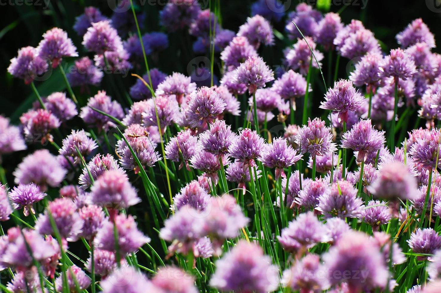 fioritura delle cipolle foto