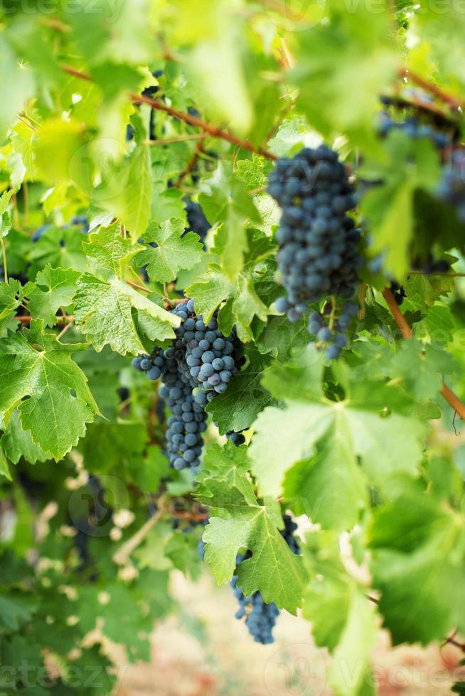 uva da vino foto