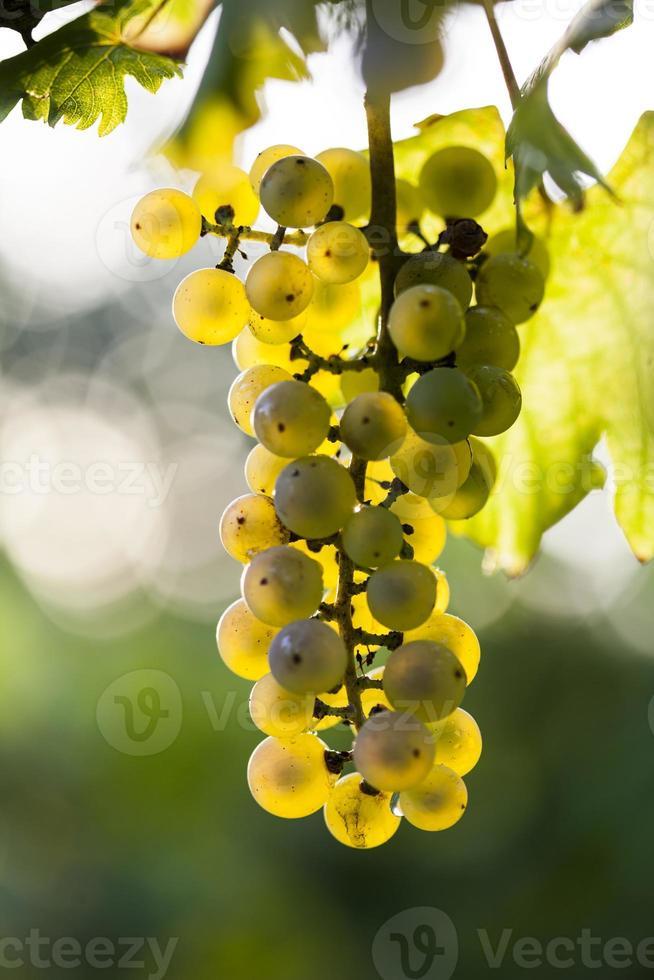 grappolo d'uva bianca sulla pianta foto